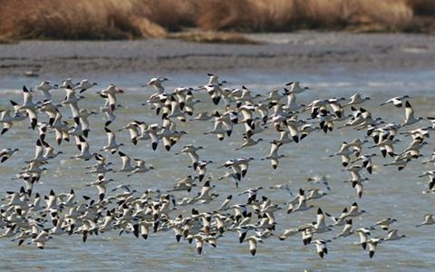 壮观!成群候鸟过境胶州湾国家级海洋公园