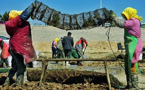 实拍:西海岸扇贝、海蛎子丰收 村民分拣忙