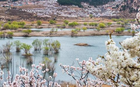 春花如雪 杨柳吐绿,崂山水库风景如画