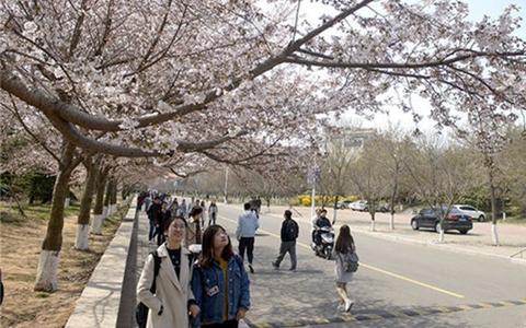 实拍:海大崂山校区樱花绽放美如画