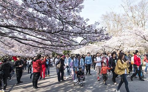 樱花郁金香次第开 中山公园进入最美赏花季
