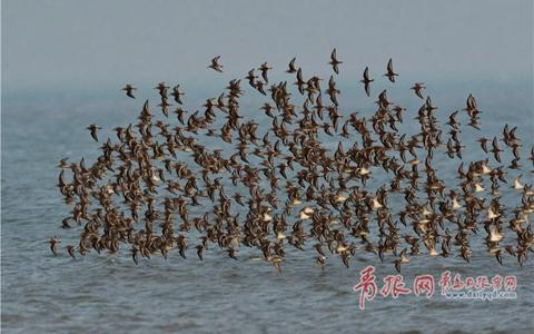 """成群候鸟迁徙过境 青岛滩涂出现壮观""""鸟潮"""""""